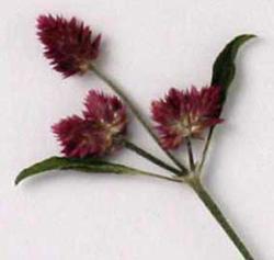千日小坊 (せんにちこぼう)の押し花